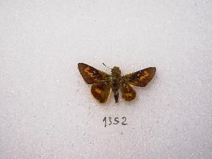 "(Phemiades - MACN-Bar-Lep-ct 01352)  @12 [ ] Copyright (2011) MACN Museo Argentino de Ciencias Naturales ""Bernardino Rivadavia"""
