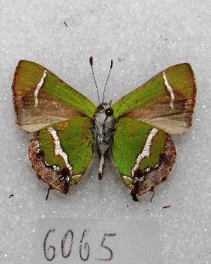 "(Chlorostrymon - MACN-Bar-Lep-ct 06065)  @14 [ ] Copyright (2014) MACN Museo Argentino de Ciencias Naturales ""Bernardino Rivadavia"""