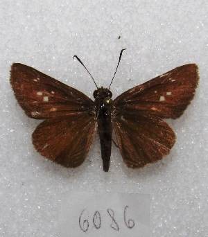 "(Cobalopsis - MACN-Bar-Lep-ct 06086)  @14 [ ] Copyright (2014) MACN Museo Argentino de Ciencias Naturales ""Bernardino Rivadavia"""