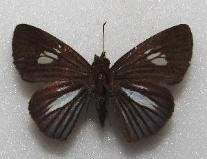 "(Phytonides - MACN-Bar-Lep-ct 06597)  @11 [ ] Copyright (2015) MACN Museo Argentino de Ciencias Naturales ""Bernardino Rivadavia"""