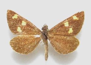 "(Argopteron aureipennis - MACN-Bar-Lep-ct 06600)  @11 [ ] Copyright (2015) MACN Museo Argentino de Ciencias Naturales ""Bernardino Rivadavia"""