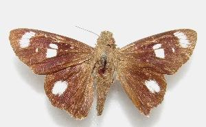 "(Carystus - MACN-Bar-Lep-ct 06618)  @11 [ ] Copyright (2015) MACN Museo Argentino de Ciencias Naturales ""Bernardino Rivadavia"""