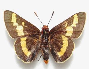 "(Pseudosarbia - MACN-Bar-Lep-ct 06619)  @11 [ ] Copyright (2015) MACN Museo Argentino de Ciencias Naturales ""Bernardino Rivadavia"""