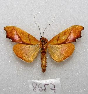 "(Sparagmia gigantalis - MACN-Bar-Lep-ct 08657)  @11 [ ] Copyright (2019) MACN Museo Argentino de Ciencias Naturales ""Bernardino Rivadavia"""