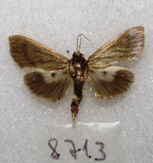 "( - MACN-Bar-Lep-ct 08713)  @11 [ ] Copyright (2019) MACN Museo Argentino de Ciencias Naturales ""Bernardino Rivadavia"""