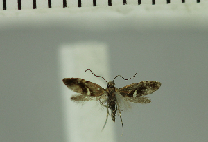 (Glyphipterix semilunaris - MNVD-11449-A11)  @11 [ ] CreativeCommons - Attribution Non-Commercial (2018) T. Karisch MNVD