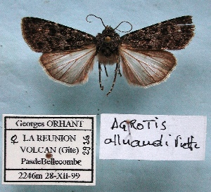 (Agrotis alluaudi - BC-GO0013)  @11 [ ] Copyright (2014) Georges Orhant Research Collection of Georges Orhant