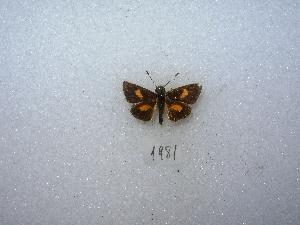 (Dalla diraspes - MACN-Bar-Lep-ct 01981)  @13 [ ] Copyright (2011) MACN Museo Argentino de Ciencias Naturales