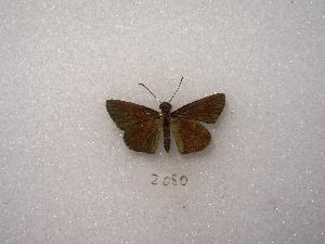 (Adlerodea - MACN-Bar-Lep-ct 02080)  @13 [ ] Copyright (2011) MACN Museo Argentino de Ciencias Naturales