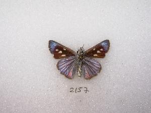 (Paracarystus - MACN-Bar-Lep-ct 02157)  @13 [ ] Copyright (2011) MACN Museo Argentino de Ciencias Naturales