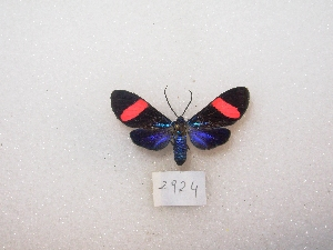 (Cyanopepla inachia - MACN-Bar-Lep-ct 02924)  @12 [ ] Copyright (2011) MACN Museo Argentino de Ciencias Naturales