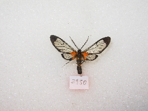 (Aristodaema - MACN-Bar-Lep-ct 02950)  @12 [ ] Copyright (2011) MACN Museo Argentino de Ciencias Naturales