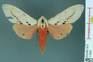 (Spilosoma groganae - RMNH.INS.14549)  @14 [ ] Unspecified (default): All Rights Reserved  Unspecified Unspecified