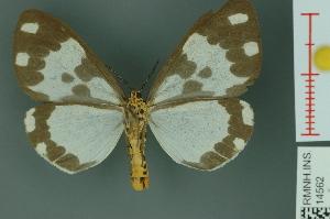 (Nyctemera muelleri - RMNH.INS.14562)  @13 [ ] Unspecified (default): All Rights Reserved  Unspecified Unspecified