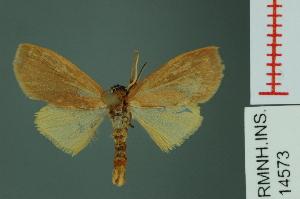 (Nishada rotundipennis - RMNH.INS.14573)  @14 [ ] Unspecified (default): All Rights Reserved  Unspecified Unspecified