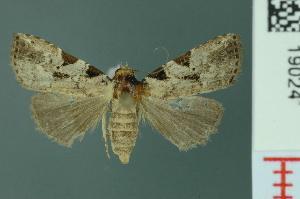 (Chorsia greensleavesi - RMNH.INS.19024)  @13 [ ] Unspecified (default): All Rights Reserved  Unspecified Unspecified