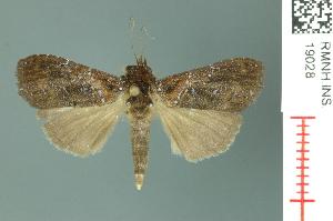 (Chorsia rufitincta - RMNH.INS.19028)  @14 [ ] Unspecified (default): All Rights Reserved  Unspecified Unspecified