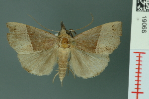 (Hypena similata - RMNH.INS.19068)  @14 [ ] Unspecified (default): All Rights Reserved  Unspecified Unspecified