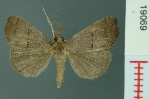 (Hypena parvigrisea - RMNH.INS.19069)  @14 [ ] Unspecified (default): All Rights Reserved  Unspecified Unspecified