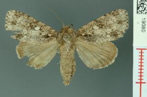 (Acronicta pruinosa - RMNH.INS.19080)  @14 [ ] Unspecified (default): All Rights Reserved  Unspecified Unspecified