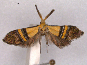(Nemophora decisella - RMNH.INS.27462)  @12 [ ] Unspecified (default): All Rights Reserved  Unspecified Unspecified
