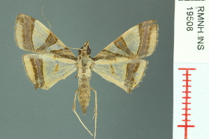 (Agrioglypta naralis - RMNH.INS.19508)  @11 [ ] Unspecified (default): All Rights Reserved  Unspecified Unspecified