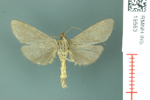 (Tyspanodes flavolimbalis - RMNH.INS.19563)  @13 [ ] Unspecified (default): All Rights Reserved  Unspecified Unspecified