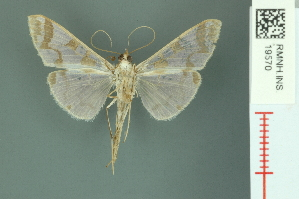 (Polythlipta cerealis - RMNH.INS.19570)  @11 [ ] Unspecified (default): All Rights Reserved  Unspecified Unspecified