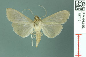 (Pyrausta ceodesalis - RMNH.INS.19712)  @13 [ ] Unspecified (default): All Rights Reserved  Unspecified Unspecified