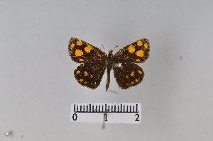 (Metisella quadrisignatus - LepMala470)  @11 [ ] CreativeCommons - Attribution Non-Commercial Share-Alike (2015) NTNU University Museum, Department of Natural History NTNU University Museum, Department of Natural History