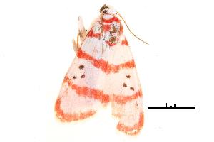 (Cyana metaleuca - BIOUG09047-C11)  @13 [ ] CreativeCommons - Attribution Non-Commercial Share-Alike (2014) CBG Photography Group Centre for Biodiversity Genomics