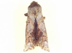 (Neodrymonia apiculatus - BIOUG09048-D03)  @12 [ ] CreativeCommons - Attribution Non-Commercial Share-Alike (2014) CBG Photography Group Centre for Biodiversity Genomics