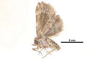 (Chorsia picatum - BIOUG13574-F08)  @12 [ ] CreativeCommons - Attribution Non-Commercial Share-Alike (2014) CBG Photography Group Centre for Biodiversity Genomics