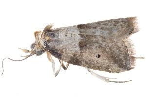 (Stictane bipunctulata - BIOUG21481-A02)  @13 [ ] CreativeCommons - Attribution Non-Commercial Share-Alike (2015) CBG Photography Group Centre for Biodiversity Genomics