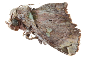 (Kobestelia - BIOUG30186-C02)  @14 [ ] CreativeCommons - Attribution Non-Commercial Share-Alike (2016) CBG Photography Group Centre for Biodiversity Genomics