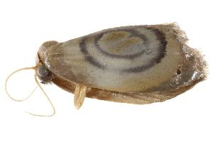 (Cyclosiella spiralis - BIOUG30186-F06)  @13 [ ] CreativeCommons - Attribution Non-Commercial Share-Alike (2016) CBG Photography Group Centre for Biodiversity Genomics
