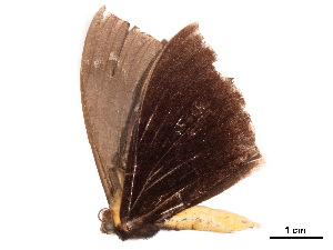 (Lygniodes schoenbergi - BIOUG39661-G09)  @11 [ ] CreativeCommons - Attribution Non-Commercial Share-Alike (2019) CBG Photography Group Centre for Biodiversity Genomics