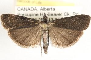 (Pyla aeneoviridella - CCDB-22974-E10)  @14 [ ] CreativeCommons - Attribution Non-Commercial Share-Alike (2014) CBG Photography Group Centre for Biodiversity Genomics