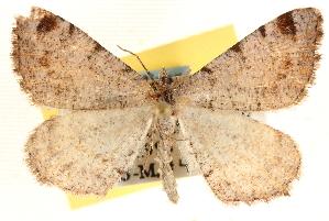 (Speranza boreata - CCDB-22975-C01)  @15 [ ] CreativeCommons - Attribution Non-Commercial Share-Alike (2014) CBG Photography Group Centre for Biodiversity Genomics