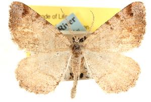 (Speranza boreata - CCDB-22975-C03)  @15 [ ] CreativeCommons - Attribution Non-Commercial Share-Alike (2014) CBG Photography Group Centre for Biodiversity Genomics