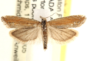 (Eucosma perangustana - CCDB-22975-H01)  @15 [ ] CreativeCommons - Attribution Non-Commercial Share-Alike (2014) CBG Photography Group Centre for Biodiversity Genomics