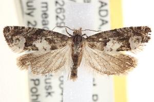 (Eucosma parmatana - CCDB-22976-A05)  @16 [ ] CreativeCommons - Attribution Non-Commercial Share-Alike (2014) CBG Photography Group Centre for Biodiversity Genomics