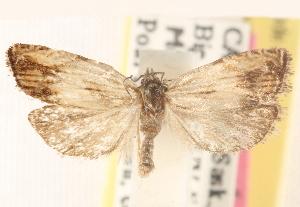 (Eucosma awemeana - CCDB-22978-H08)  @14 [ ] CreativeCommons - Attribution Non-Commercial Share-Alike (2014) CBG Photography Group Centre for Biodiversity Genomics