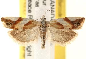 (Eucosma octopunctana - CCDB-22979-A09)  @15 [ ] CreativeCommons - Attribution Non-Commercial Share-Alike (2014) CBG Photography Group Centre for Biodiversity Genomics