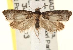 (Eucosma oregonensis - CCDB-22979-B01)  @15 [ ] CreativeCommons - Attribution Non-Commercial Share-Alike (2014) CBG Photography Group Centre for Biodiversity Genomics