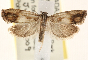 (Eucosma umbrastriana group - CCDB-22979-B08)  @14 [ ] CreativeCommons - Attribution Non-Commercial Share-Alike (2014) CBG Photography Group Centre for Biodiversity Genomics