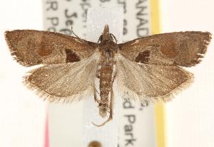 (Pelochrista dorsisignatana - CCDB-22979-C07)  @15 [ ] CreativeCommons - Attribution Non-Commercial Share-Alike (2014) CBG Photography Group Centre for Biodiversity Genomics