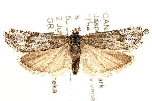 (Eucosma rupestrana - CCDB-28538-F10)  @14 [ ] CreativeCommons - Attribution Non-Commercial Share-Alike (2015) CBG Photography Group Centre for Biodiversity Genomics