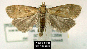 (Phtheochroa waracana - NoA-08-148)  @13 [ ] Unspecified (default): All Rights Reserved  Unspecified Unspecified