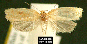 (Phtheochroa aureoalbida - NoA-08-156)  @14 [ ] Unspecified (default): All Rights Reserved  Unspecified Unspecified